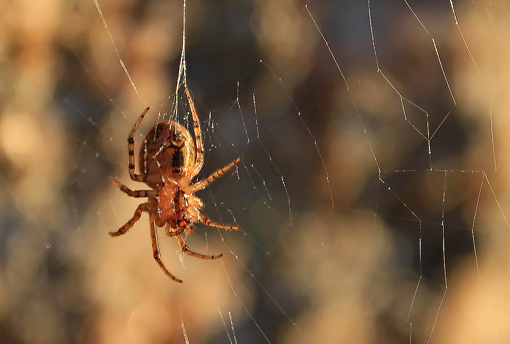 Spindel i solnedgången